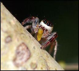 Vegetarian_spider